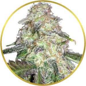 LSD marijuana strain