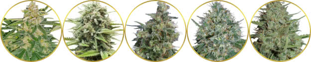 top-rated list of the best medical marijuana strains