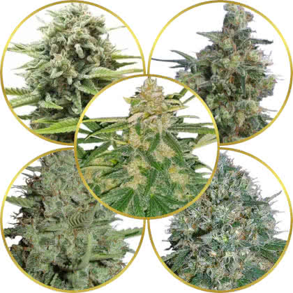 Top 5 Best Medical Cannabis Strains to Grow