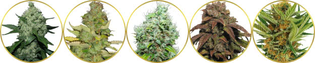 top-ranked list of the best mold-mildew resistant cannabis strains