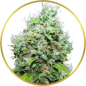 NYC Diesel marijuana strain