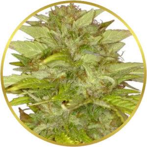 Orange Bud marijuana strain