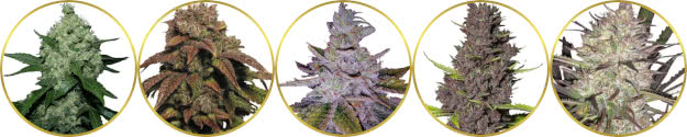 top-rated list of the best outdoor marijuana strains to grow