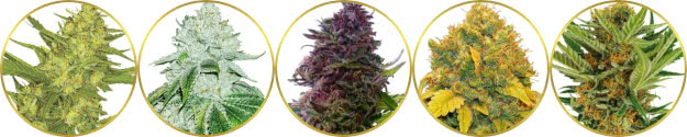 top-rated list of the best popular usa dispensary cannabis strains