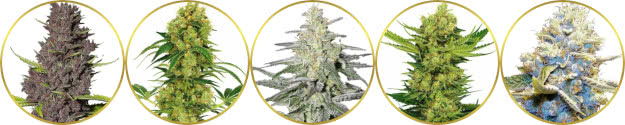 top-rated best cash-crop weed strains to grow and sell for profit