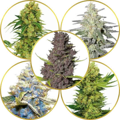 Top 5 Best Weed Strains to Grow and Sell for Profit