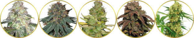 top-rated list of the best psychedelic weed strains