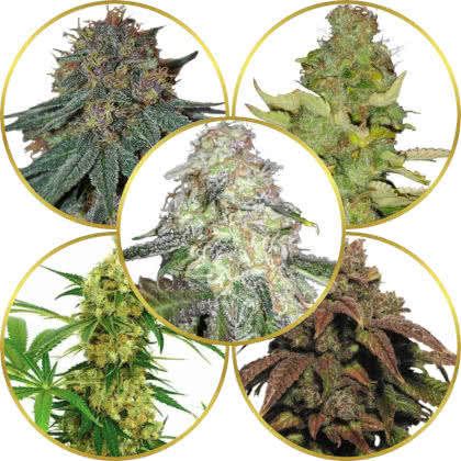 Top 5 Best Psychedelic Weed Strains to Grow