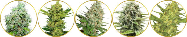 top-rated list of the best pungent skunk gas weed strains