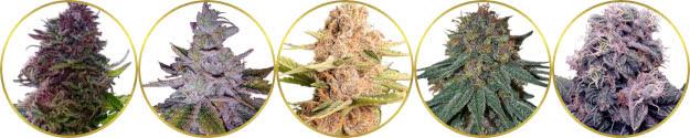 top-rated list of the best purple marijuana strains