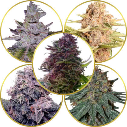 Top 5 Best Purple Marijuana Strains to Grow