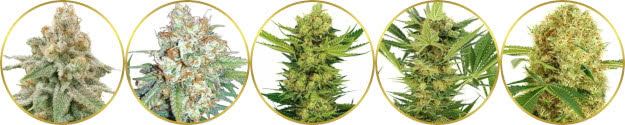 top-rated list of the best-smelling weed strains