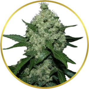 Super Skunk marijuana strain
