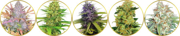 top-rated list of the best sweet fruity weed strains
