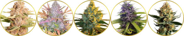 top-rated list of the best-tasting weed strains to grow