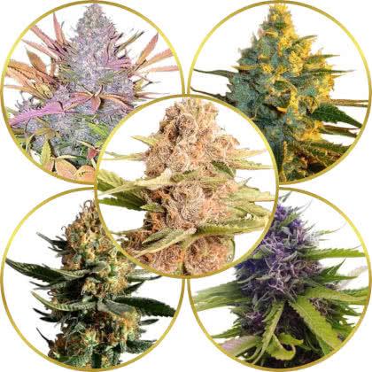 Top 5 Best-Tasting Weed Strains to Grow