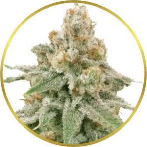 Wedding Cake marijuana strain
